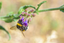 Bee Foraging by maxal-tamor
