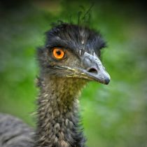 Emu Portrait 1 by kattobello