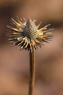 Echinaceae im Winter von Bernhard Kaiser