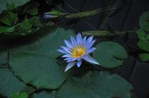 Lotus von David Halperin
