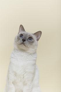 Thai Katze / 3 von Heidi Bollich