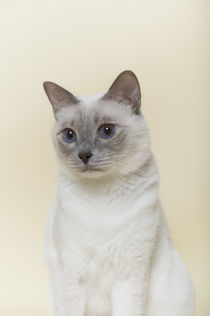 Thai Katze / 1 by Heidi Bollich