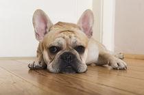 Französische Bulldogge / 6 by Heidi Bollich