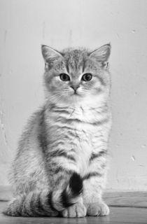 Britisch Kurzhaar Kitten / 96 by Heidi Bollich