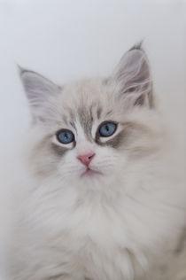 Neva Masquarade Kitten / 6 von Heidi Bollich