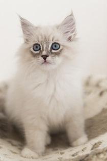 Neva Masquarade Kitten / 8 von Heidi Bollich