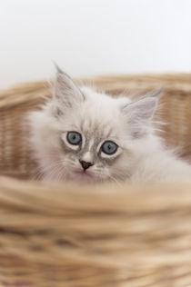 Neva Masquarade Kitten / 7 by Heidi Bollich