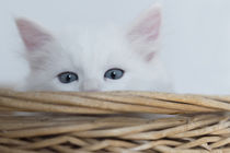 Sibirer Kitten / 2 by Heidi Bollich