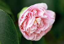 Rosa Kamelie - Camellia japonica Tomorrow by Dieter  Meyer