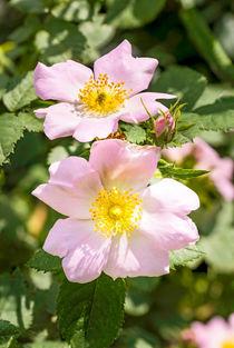 Pink Eglantines by maxal-tamor