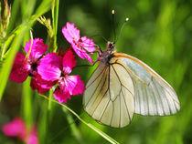 Butterfly by JOMA GARCIA I GISBERT