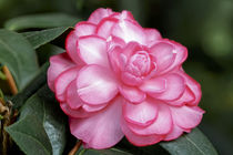 Rosa Kamelie - Camellia x williamsii 'Dream Boat' by Dieter  Meyer