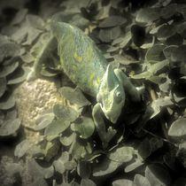 Dreamy Jemenchamäleon von kattobello