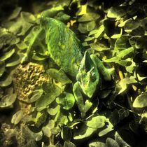 Chamäleon im Zwielicht von kattobello