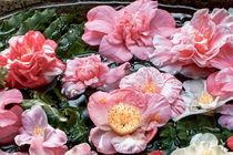 Kamelienblüten im Wasserbecken - Camellia japonica by Dieter  Meyer