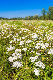 Wild Flowers in a Meadow by maxal-tamor
