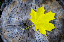 Maple Leaf in Autumn by maxal-tamor