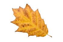 Yellow Autumn Oak Leaf von maxal-tamor