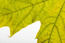Autumn Maple Leaf Macro von maxal-tamor