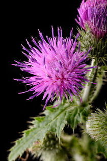 Thistle Flower by maxal-tamor