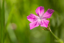Wild Dianthus Armeria by maxal-tamor