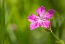 Wild Dianthus Armeria von maxal-tamor