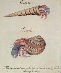 Hermit Crab by John White