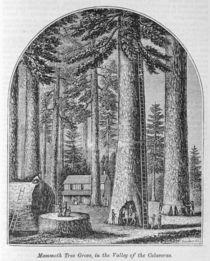 Mammoth tree grove in the Valley of the Calaveras von American School