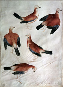 Five Jays, from the Vallardi Album von Antonio Pisanello