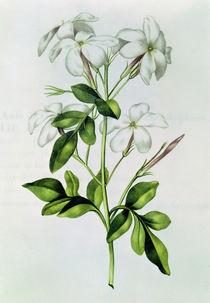Fol.30 Jasmine, from 'La Guirlande de Julie' von Nicolas Robert