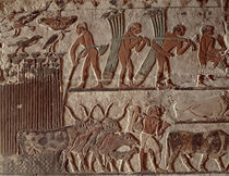 Harvesting papyrus and a group of cows by Egyptian 5th Dynasty