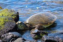 Exhausted Hawaiian Sea Turtle  von Amber D Hathaway Photography