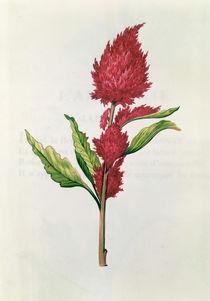 Amaranthus, from 'La Guirlande de Julie' von Nicolas Robert