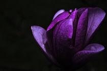 Magnolia / 1 von Heidi Bollich