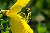 Die gelbe Blüte des Besenginster by Ronald Nickel