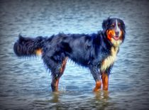 Dreamy Berner Sennenhund by kattobello