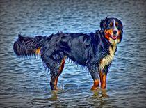 Berner Sennenhund in der Nordsee 1 von kattobello