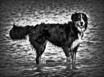 Berner Sennenhund in schwarz und weiß 2 by kattobello