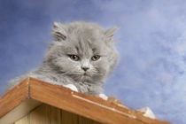 Britisch Langhaar Kitten / 12 von Heidi Bollich