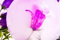 Glockenblume in kristallklarem Eis by Marc Heiligenstein