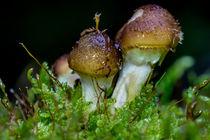 Kleine Honigpilze im dunklen Wald by Ronald Nickel