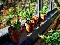 Jade Plants in Greenhouse von Susan Savad