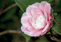 Weissrosa Kamelie - Camellia japonica L. 'Albino Botti' by Dieter  Meyer