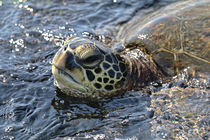 Hawaiian Sea Turtle Face Time von Amber D Hathaway Photography