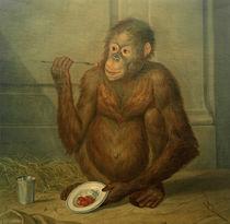 Tethart Ph. Ch. Haag, Orang-Utan, Erdbeeren fressend by AKG  Images