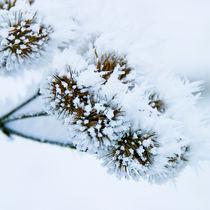 frozen_flowers_03 by Sonja Dürnberger