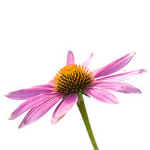 echinacea purpurea by Sonja Dürnberger