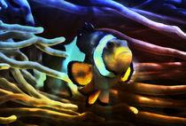 Fantastischer Anemonenfisch im Lichtstrahl 3 by kattobello