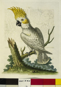 Yellow-Crested Cockatoo / Etching / 1764 by AKG  Images