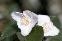 Weiße Kamelie - Camellia japonica L. 'Kazami-Guruma(Kanto)' by Dieter  Meyer